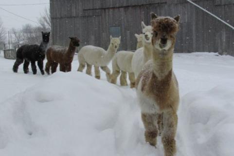 Amazing Graze Alpacas